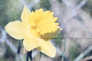 daffodil close