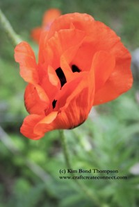 red poppy blooming