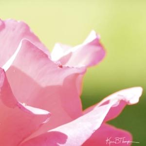 rosepetals_soft_72wm